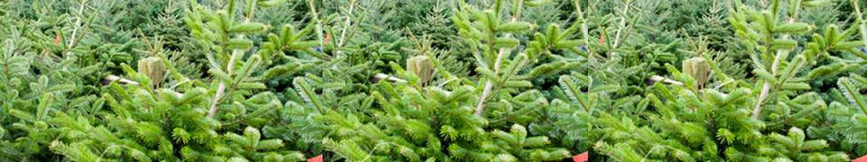 Discover home grown Christmas Trees in Haywards Heath